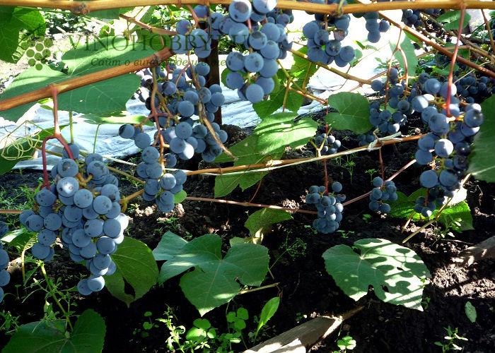 vinograd sibir 4