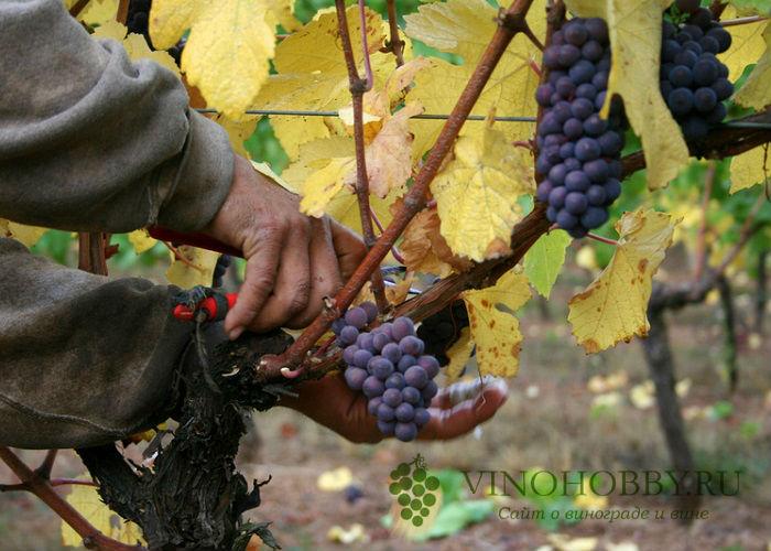 vinograd sibir 7