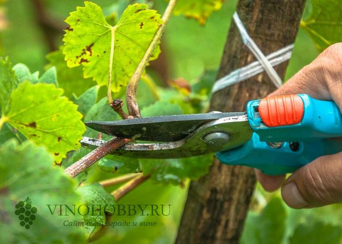 vinograd sibir 8