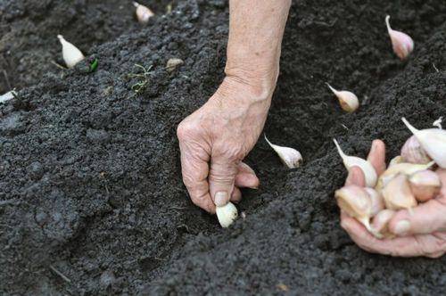Почва и условия для выращивания чеснока