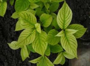Одна из частых причин пожелтения листьев у гортензии - переизбыток влаги
