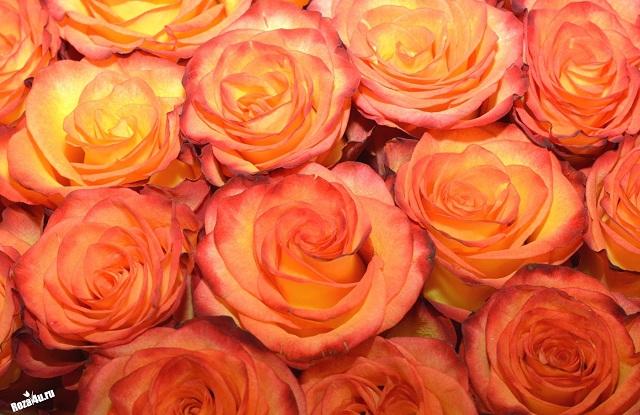 Хай Мэджик роза