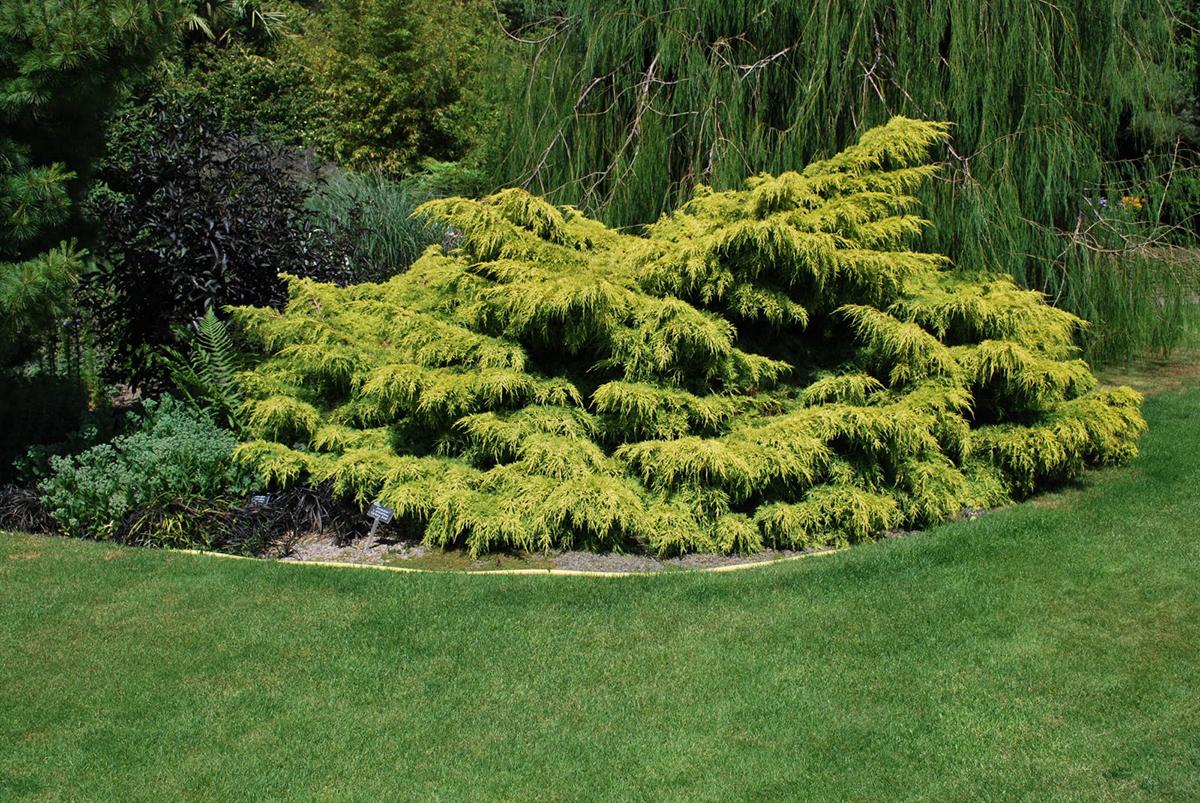 juniperus x pfitzeriana old gold
