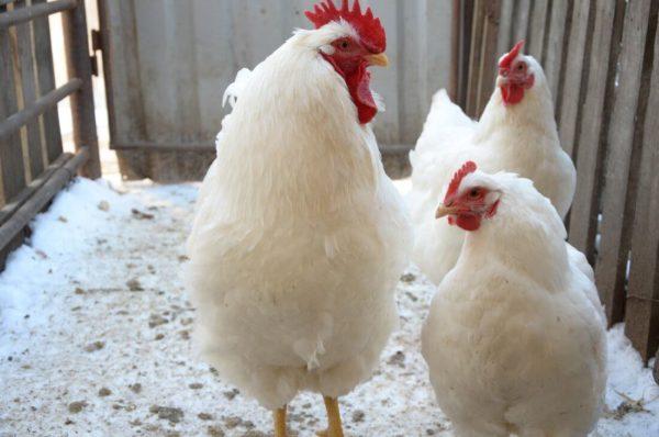 Для улучшения мясной продуктивности селекционеры любят скрещивать Белый плимутрок и Корниш
