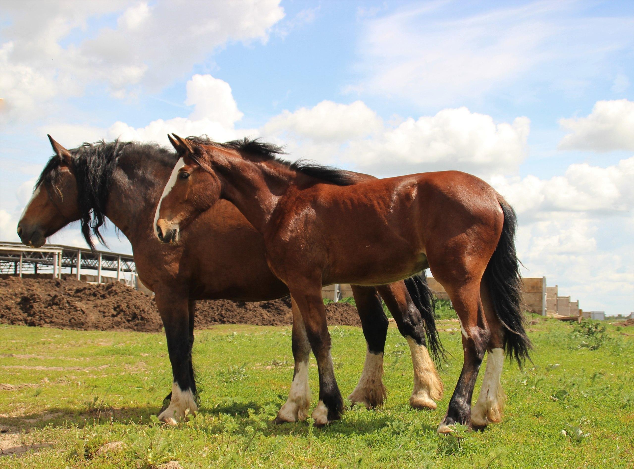 Тяжеловозы. Лошадь с жеребенком