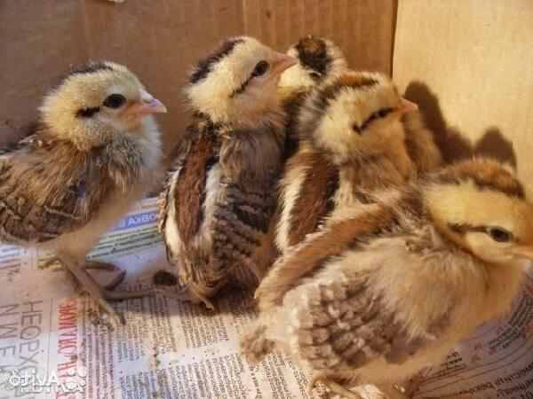 Недельные цыплята породы Феникс.
