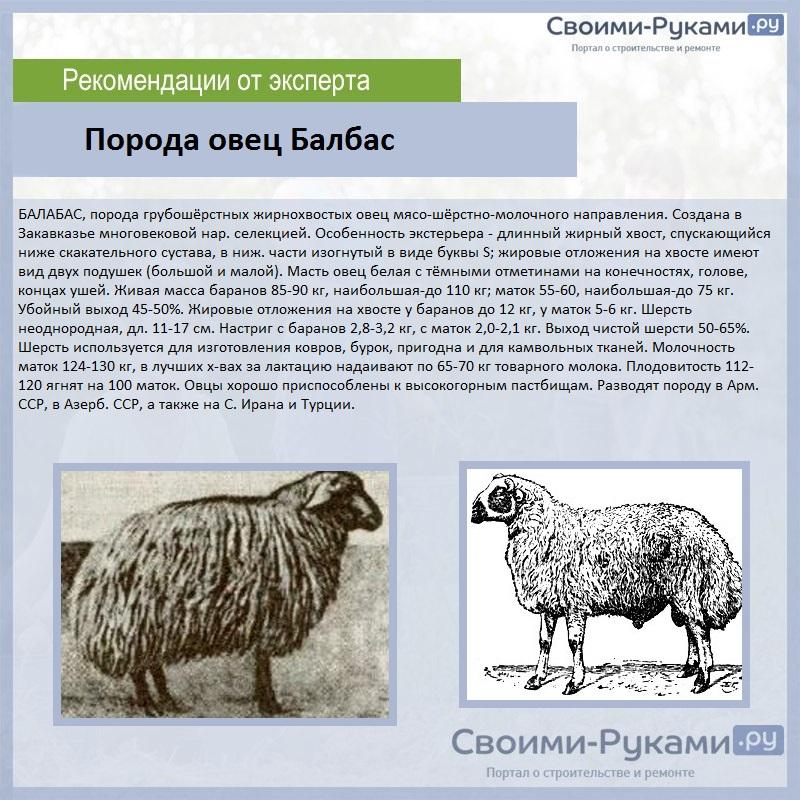 Порода овец Балбас