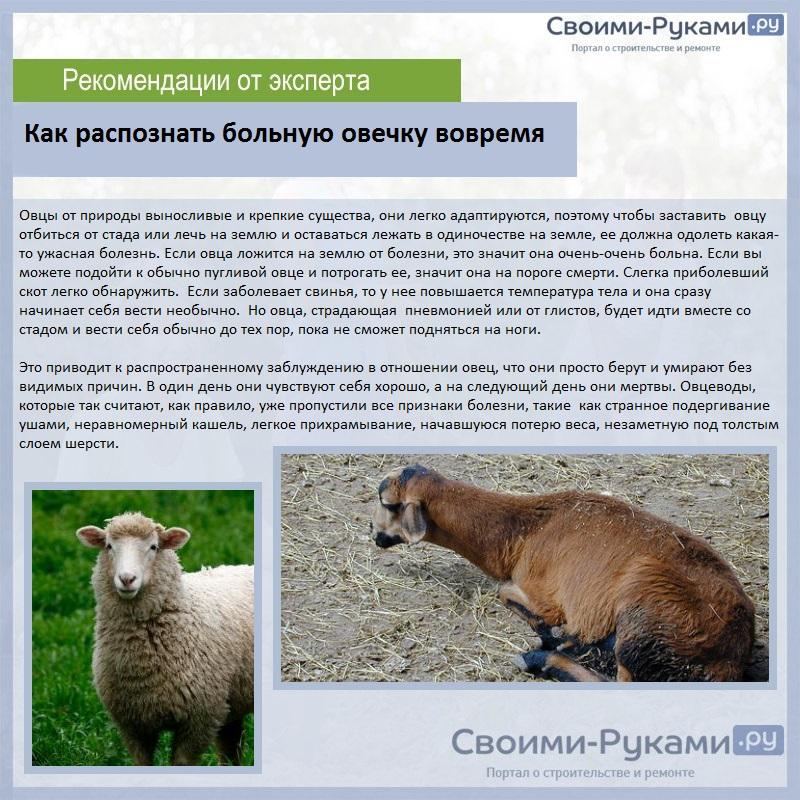 Как распознать больную овечку вовремя