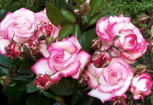 Особенности сорта роз