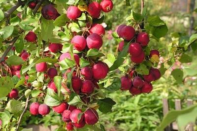 Яблоня Китайка необычный сорт в наших садах