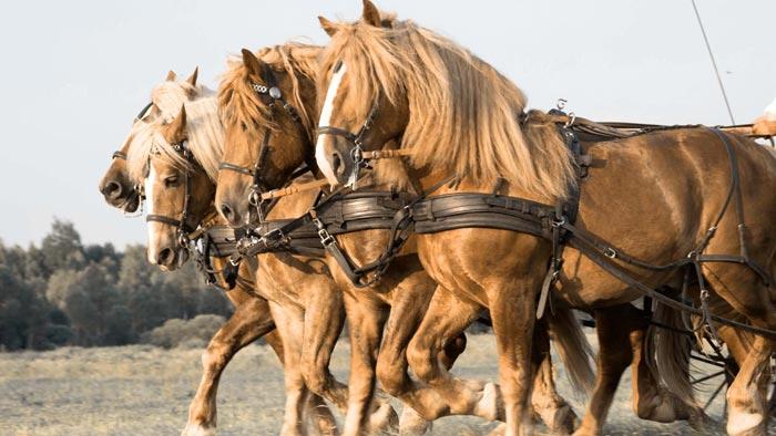 кони в упряжке