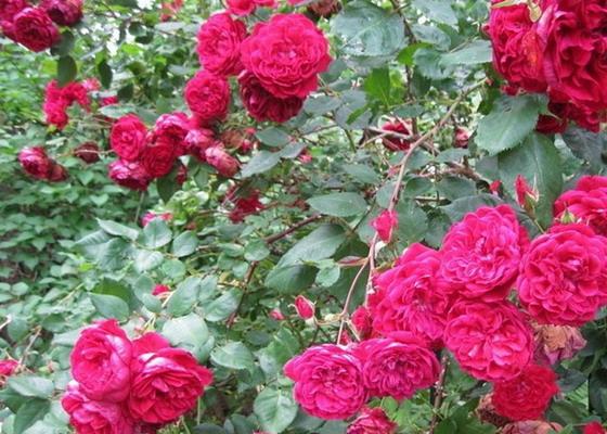 IMG1. Сорт Квадро один из представителей канадских плестистых роз, который имеет махровые декоративные цветы.
