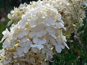 Выращивание гортензии метельчатой в саду
