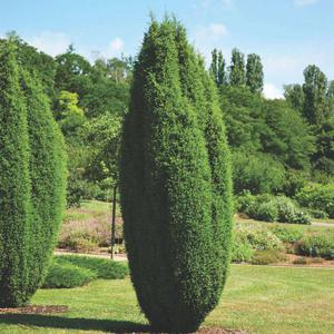 Можжевельники  Хиберника в саду