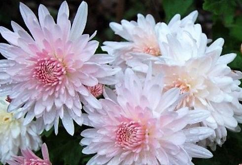 Хризантемы Мираж