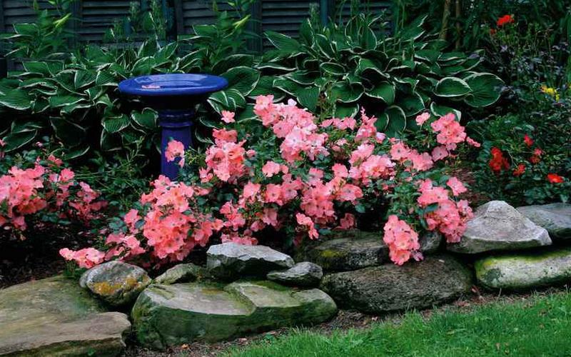 Хороши почвопокровные розы в рокариях на фото