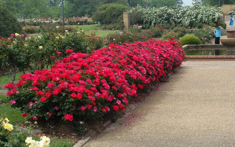 Парковые розы в ландшафтном дизайне дачного участка на фото