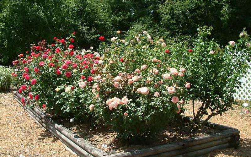 Парковые розы входят и в декоративные садовые группы (фото)