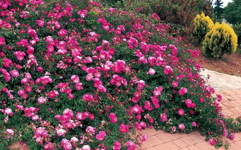 Группы роз в садовом дизайне на даче (с фото)