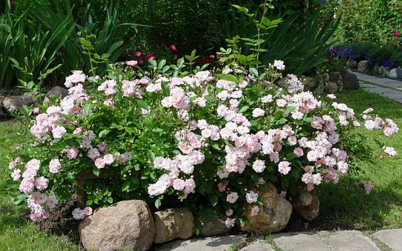 Группы роз в садовом дизайне на даче (с фото) фото
