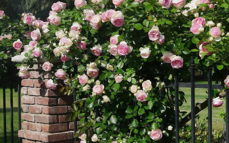 Плетистые розы на фото