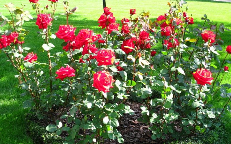 Розы в дизайне вашего сада: оформление клумбы (с фото)