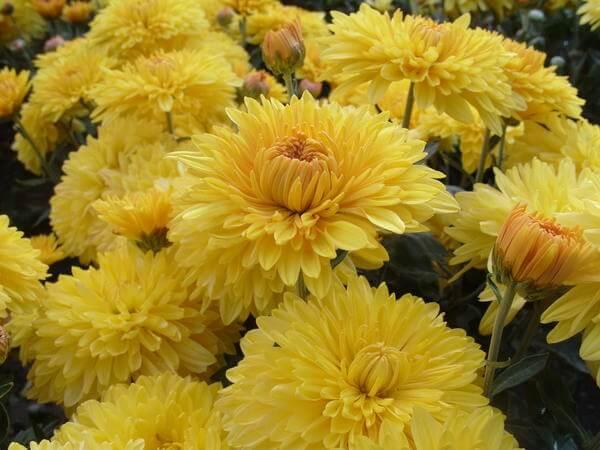Хризантемы Опал