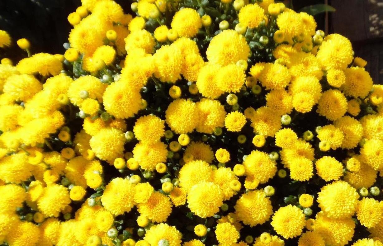 Хризантемы Гели