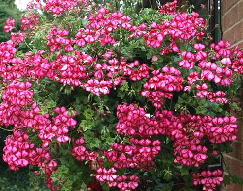 Обильное цветение плющелистной пеларгонии