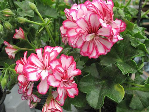 В одном соцветии от 6 до 15 цветков