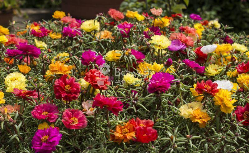 Прекрасные цветыдекоративного портулака фото