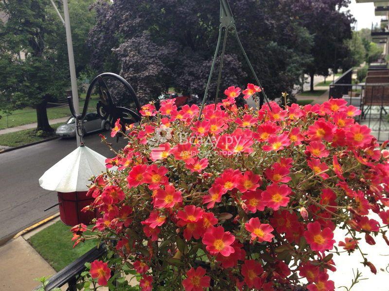 Черри - декоративный сорт портулака с цветками вишневого цвета