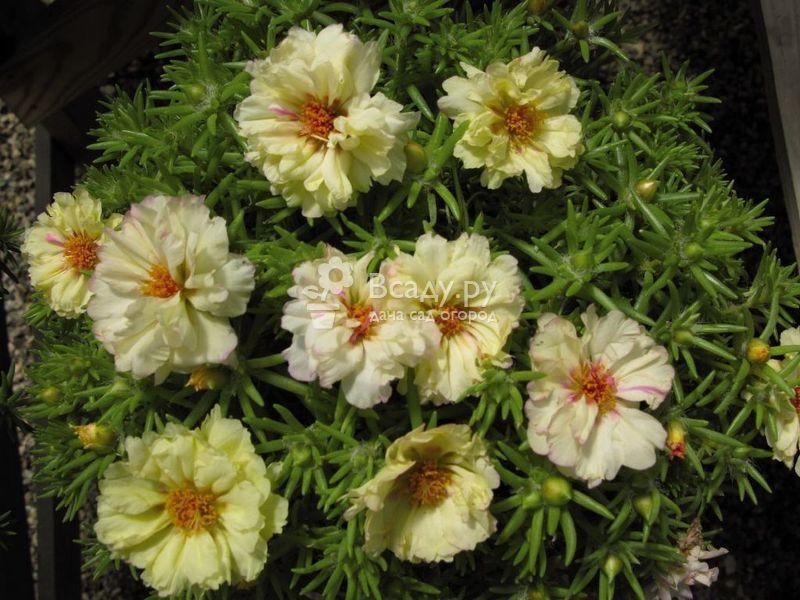 Портулак сорта Крем известен благодаря нежным цветкам