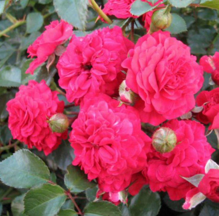 Розы сорта хеллоу