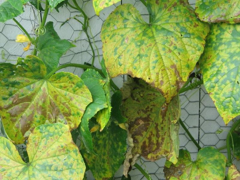 отчего желтеют листья огурцов