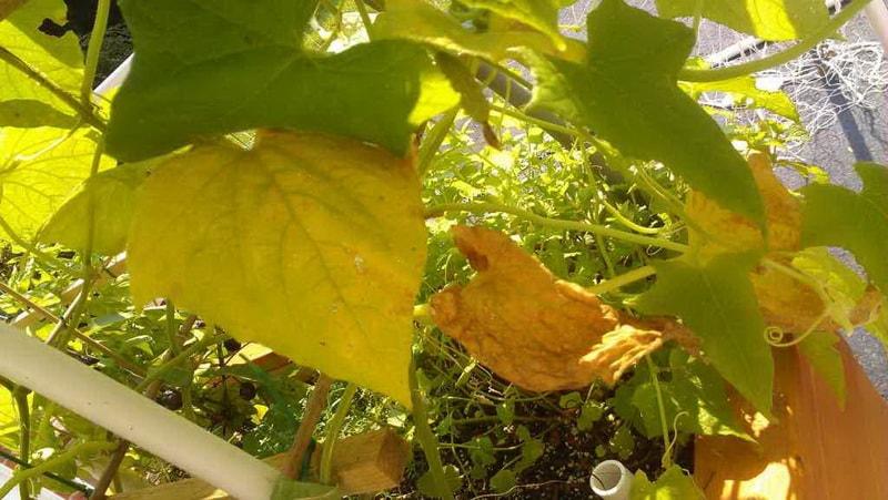 народные средства: что делать если желтеют листья огурцов