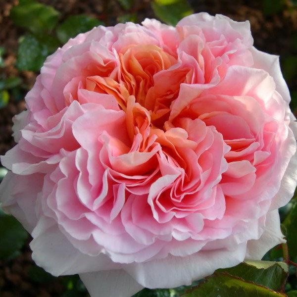 Сорт розы Абрахам Дерби