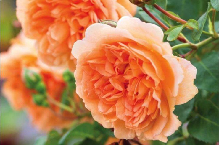 Розы сорта Дама Джуди Денч