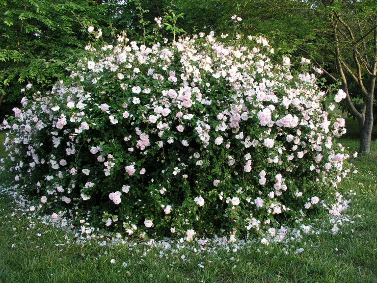 Розы Нью Даун