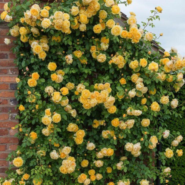 Плетистые розы Грехам Томас