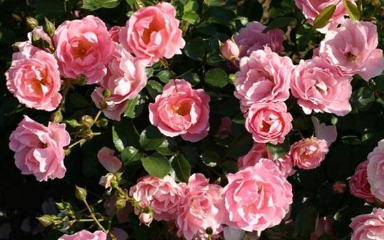 Роза Саммервинд