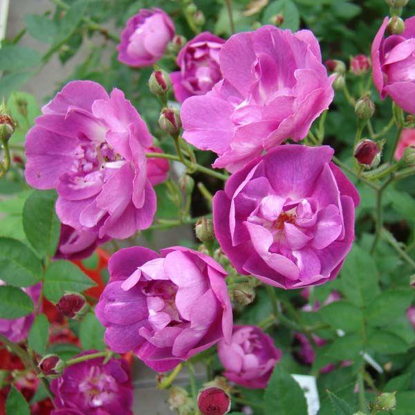Розы Мистер Блубёрд