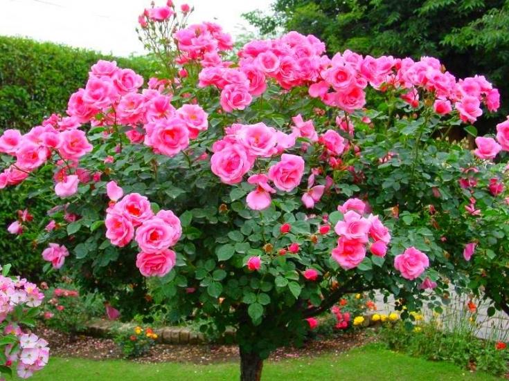 Розы сорта Скарлет Квин Элизабет