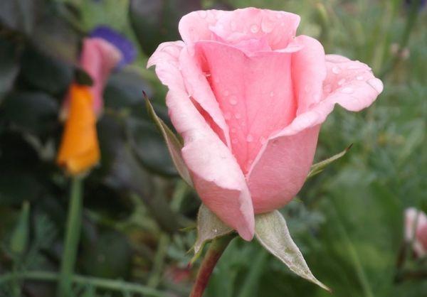Роза сорта Фламинго