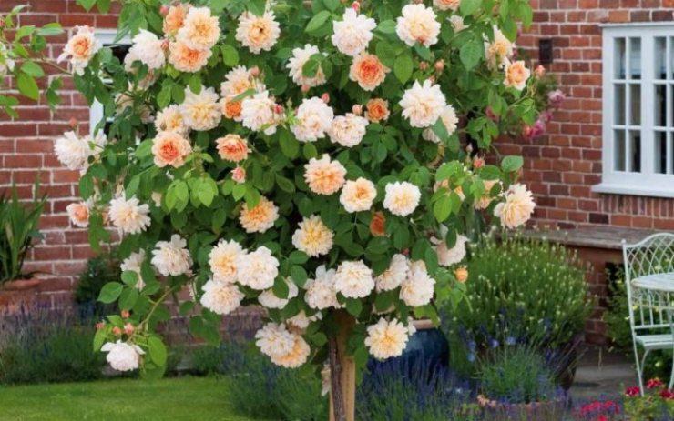 Лионс-роза