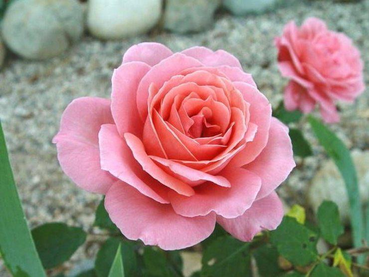 Розы Блессингс