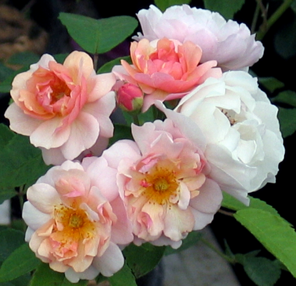Розы Корнелия