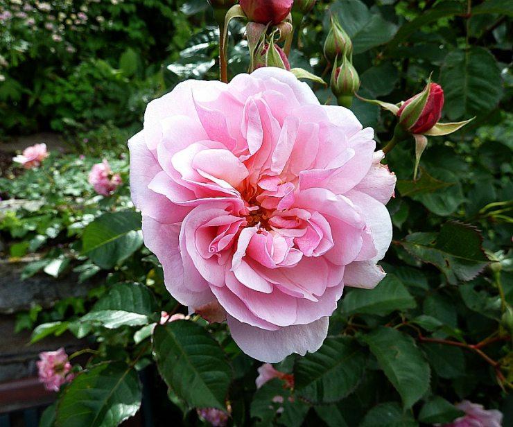 Роза Фелиция