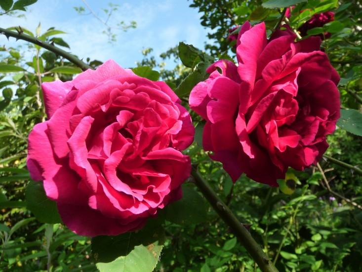 Розы Хью Диксон