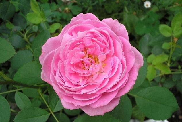Розы Миссис Джон Лейнг